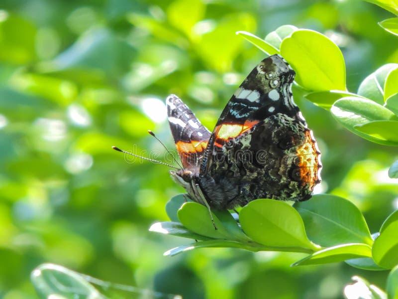 Άφοβη πεταλούδα στοκ εικόνα