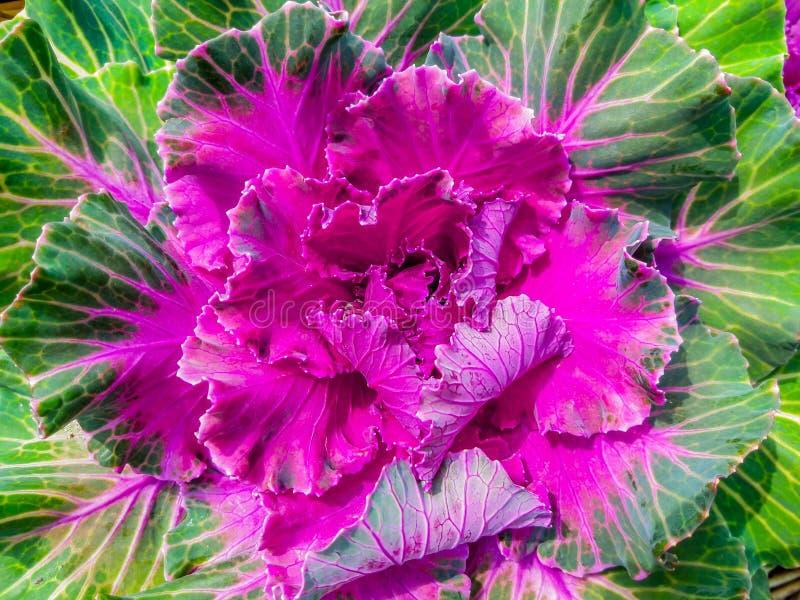 λάχανο διακοσμητικό στοκ εικόνες με δικαίωμα ελεύθερης χρήσης