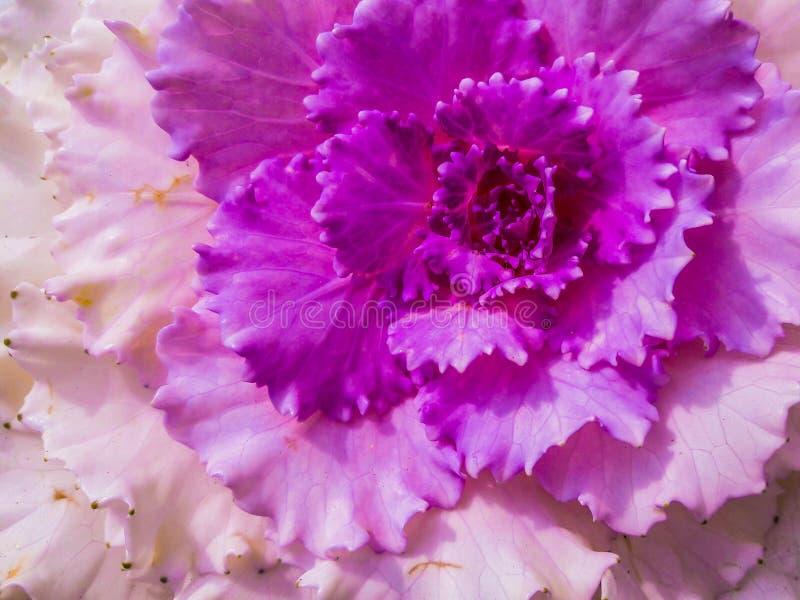 λάχανο διακοσμητικό στοκ φωτογραφίες με δικαίωμα ελεύθερης χρήσης