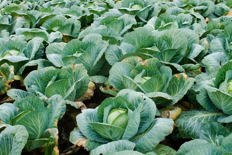 Download λάχανο φρέσκο στοκ εικόνες. εικόνα από φυλλώδης, λάχανο - 62700072