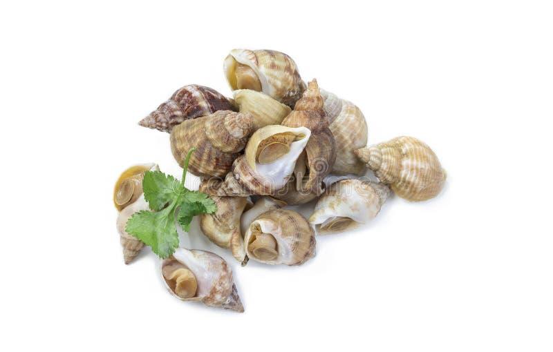 Άψητα φρέσκα κοινά whelks ή σαλιγκάρια θάλασσας που απομονώνονται σε ένα άσπρο υπόβαθρο στούντιο στοκ φωτογραφία με δικαίωμα ελεύθερης χρήσης