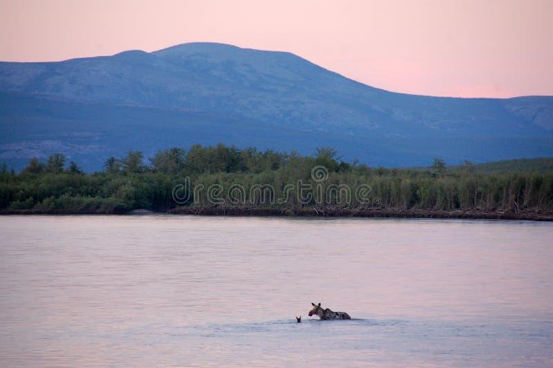 Άλκες που διασχίζουν τον εσωτερικό Ρωσία ποταμών Kolyma στοκ εικόνες με δικαίωμα ελεύθερης χρήσης
