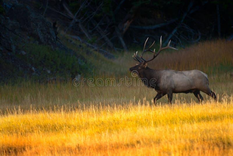 Άλκες του Bull στην ανατολή στο εθνικό πάρκο Yellowstone στοκ φωτογραφία
