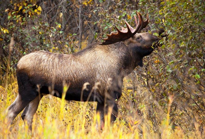 Άλκες Bull με τα μεγάλα ελαφόκερες που τρώνε, αρσενικό, Αλάσκα, ΗΠΑ στοκ εικόνα