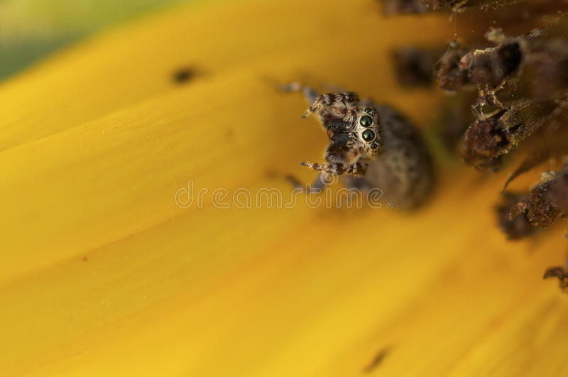 Άλμα της αράχνης που εξετάζει με στοκ εικόνα