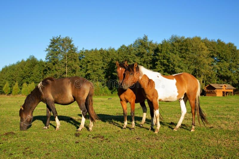 Άλογα, επιβήτορας με ένα πέος στην κορυφή και φοράδες στο λιβάδι στοκ εικόνες