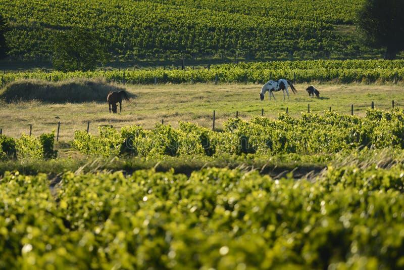 Άλογα και αμπελώνες Beaujolais, Γαλλία στοκ εικόνες