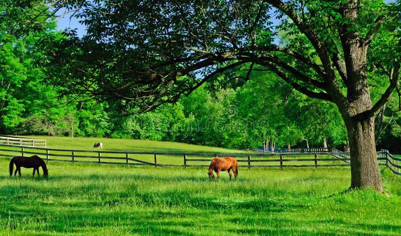 Άλογα που βόσκουν σε ένα αγροτικό αγροτικό λιβάδι στοκ εικόνα με δικαίωμα ελεύθερης χρήσης