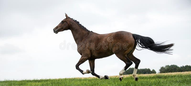 Άλογα που καλπάζουν σε έναν τομέα στοκ εικόνα με δικαίωμα ελεύθερης χρήσης
