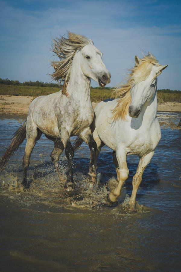 Άλογα που παίζουν και που καταβρέχουν στοκ εικόνες