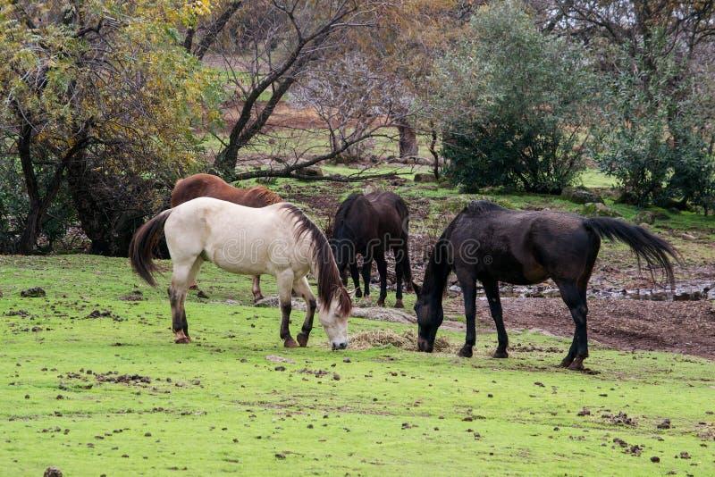 Άλογα που τρώνε από κοινού στοκ εικόνες