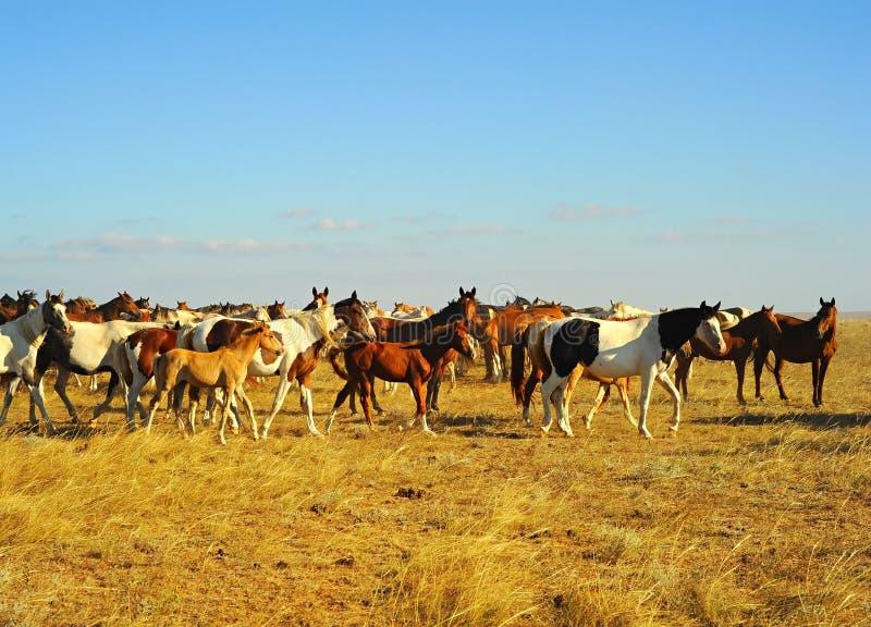 Άλογα της Κριμαίας στοκ εικόνες με δικαίωμα ελεύθερης χρήσης