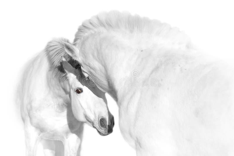 άλογα δύο λευκό στοκ εικόνες