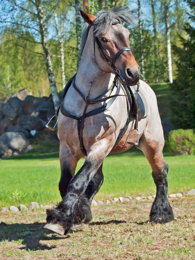 Άλογο έλξης τρεξίματος βελγικό στοκ εικόνες