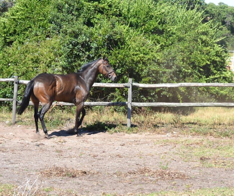 άλογο - αγγλικός thoroughbred στοκ εικόνα με δικαίωμα ελεύθερης χρήσης