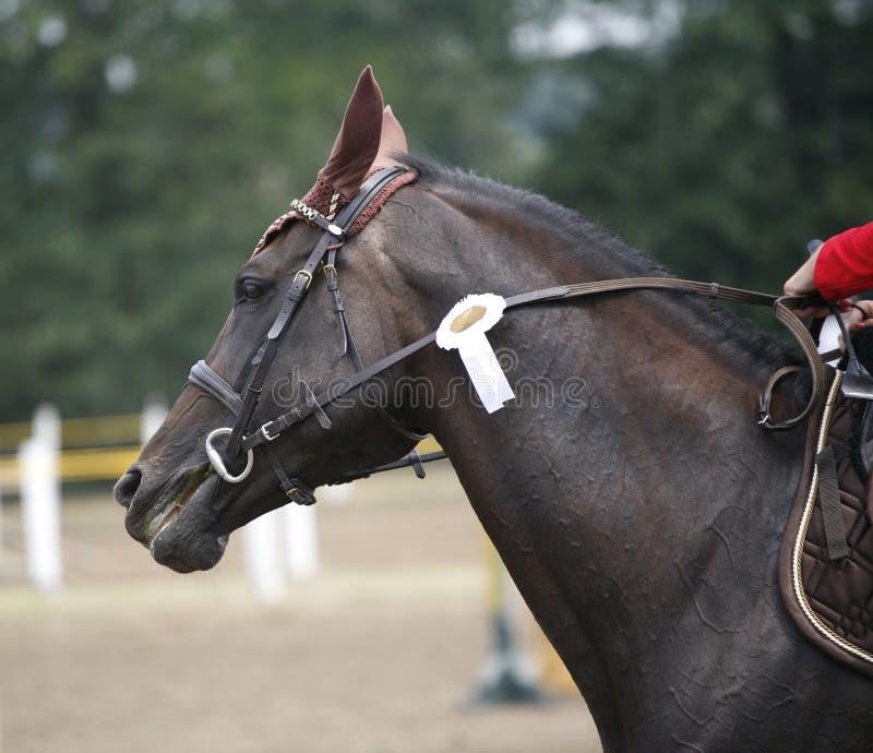 Άλογο κούρσας νίκης βραβείων κατά τη διάρκεια του εορτασμού σε μια πηδώντας παραμονή επίδειξης στοκ εικόνες με δικαίωμα ελεύθερης χρήσης