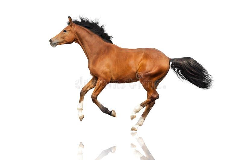 άλογο κόλπων που απομονώ&n στοκ εικόνα με δικαίωμα ελεύθερης χρήσης