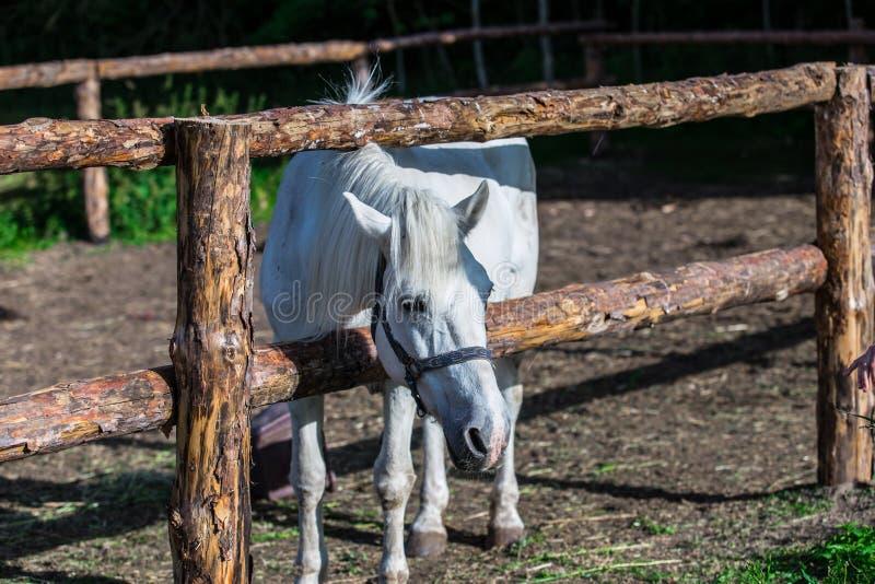 Άλογο κόλπων που στέκεται στον ξύλινο φράκτη στο λιβάδι στοκ φωτογραφίες