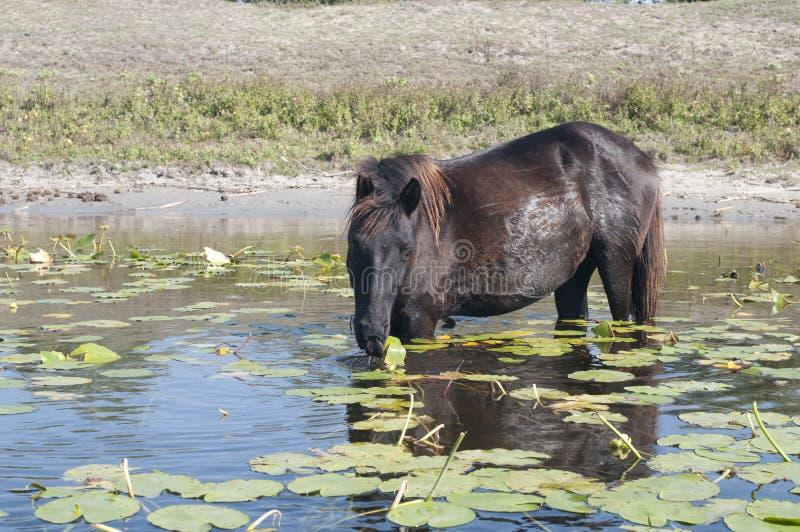 Άλογο που βόσκει waterlily τα φύλλα στοκ φωτογραφία με δικαίωμα ελεύθερης χρήσης