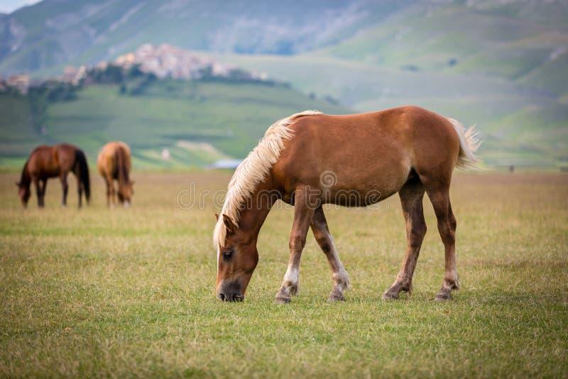 Άλογο στο πιάνο Grande, Castelluccio Di Norcia, Ιταλία στοκ φωτογραφία