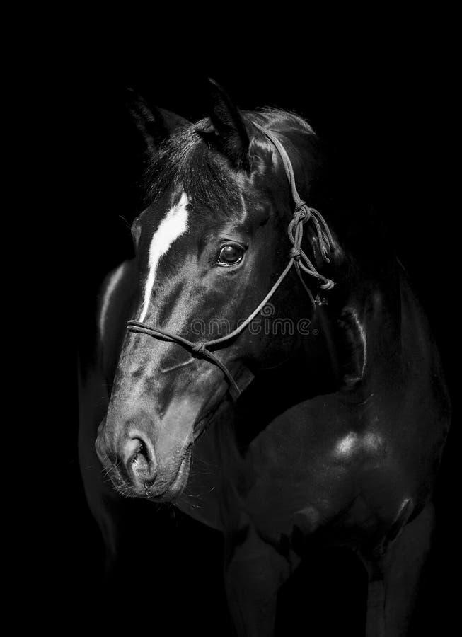 άλογο στο halter του σχοινιού σε ένα σκοτεινό υπόβαθρο στοκ εικόνες με δικαίωμα ελεύθερης χρήσης