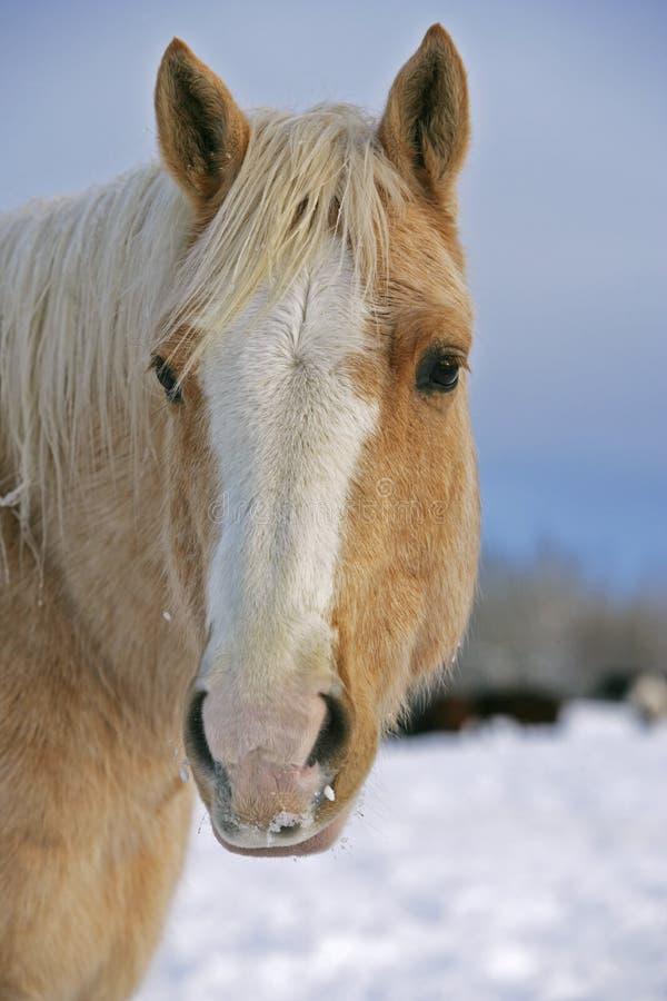 Άλογο τετάρτων Palomino στοκ φωτογραφίες με δικαίωμα ελεύθερης χρήσης