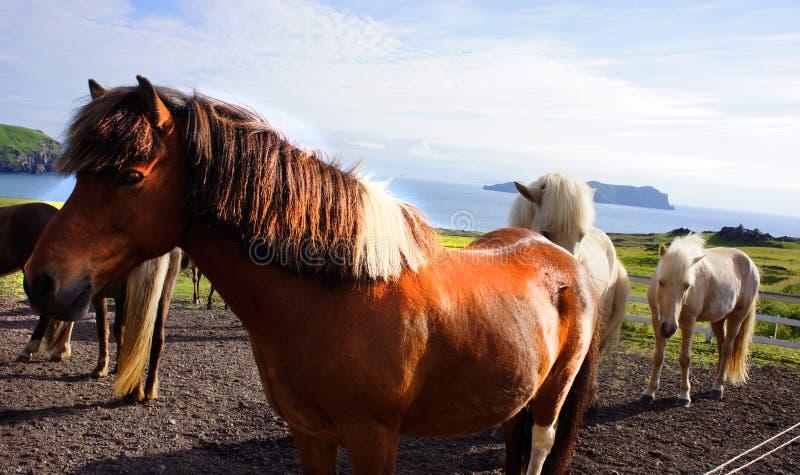 Άλογο της Ισλανδίας στοκ εικόνες με δικαίωμα ελεύθερης χρήσης