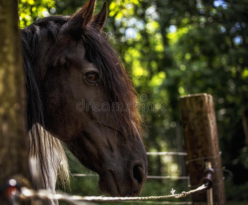 Άλογο Frisian στοκ φωτογραφίες με δικαίωμα ελεύθερης χρήσης