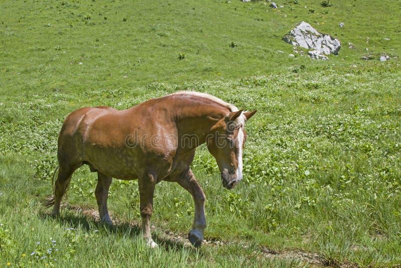 Άλογο Haflinger στο λιβάδι βουνών στοκ εικόνα