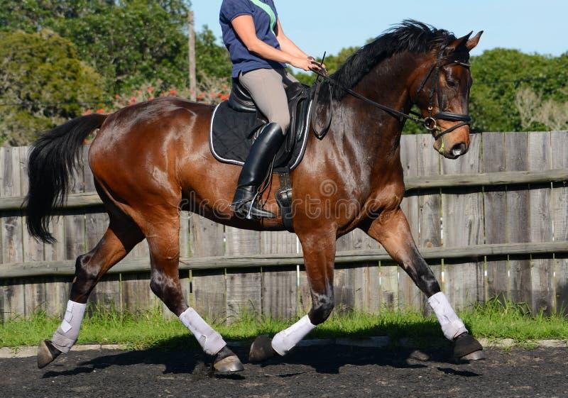 Άλογο Hanoverian στο χώρο εκπαίδευσης αλόγου σε περιστροφές στοκ φωτογραφία
