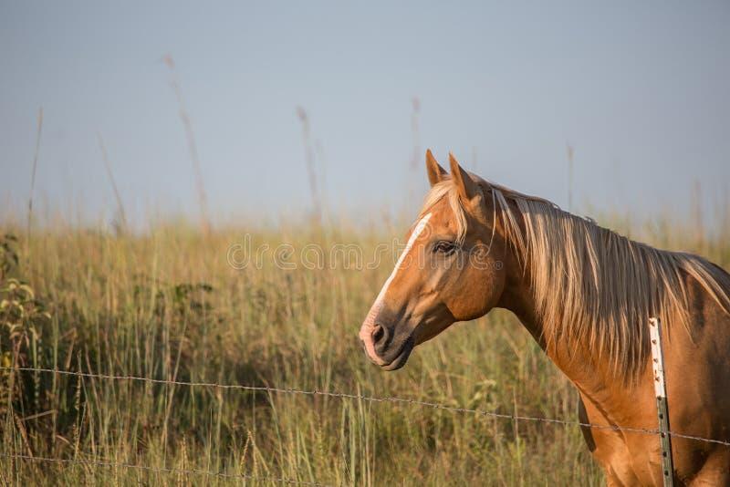 Άλογο Palomino στο ηλιοβασίλεμα στοκ φωτογραφία με δικαίωμα ελεύθερης χρήσης