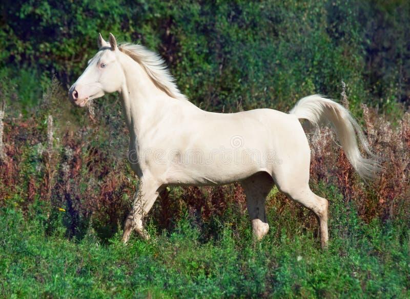 Άλογο palomino τρεξίματος όμορφο στην ελευθερία στοκ φωτογραφία