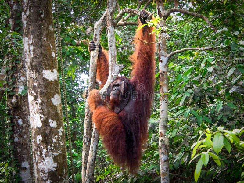 Άλφα αρσενικός Orangutan του Μπόρνεο στην επιφύλαξη φύσης Semenggoh, Μαλαισία στοκ εικόνες με δικαίωμα ελεύθερης χρήσης