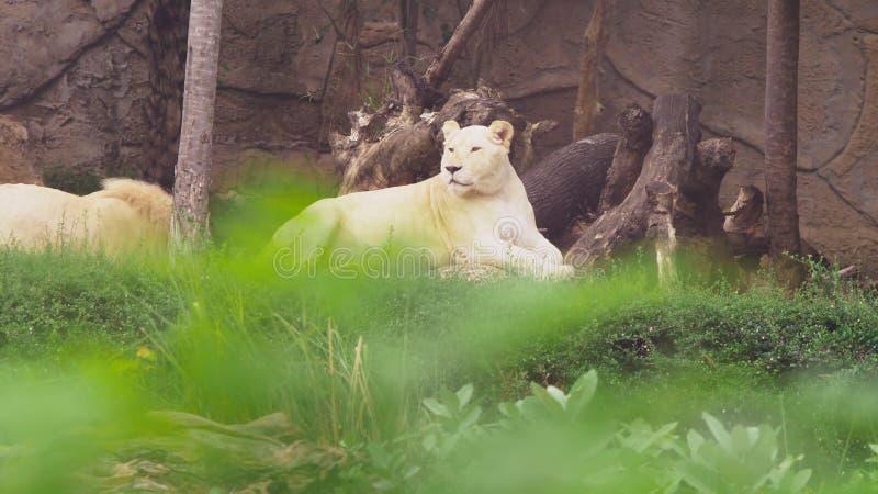 Έγκυο θηλυκό άσπρο λιοντάρι Τα άσπρα λιοντάρια είναι μια μεταλλαγή χρώματος του λιονταριού του Transvaal, krugeri leo Panthera, ε στοκ εικόνα με δικαίωμα ελεύθερης χρήσης
