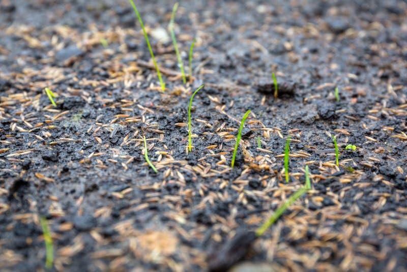 Έδαφος με τους σπόρους χλόης που φυτεύονται για τον τέλειο χορτοτάπητα στοκ εικόνες