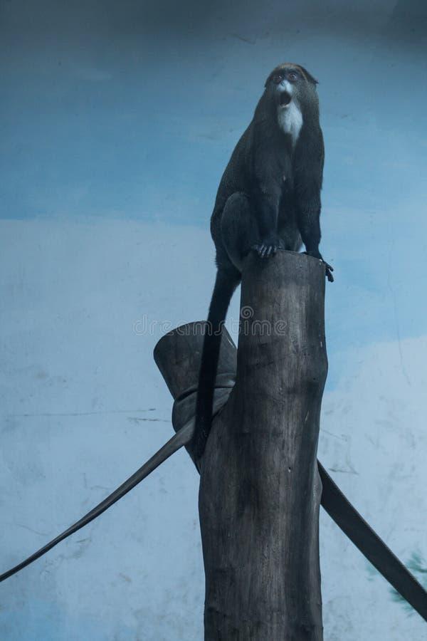 Έκπληκτη έκφραση του πιθήκου στο κολόβωμα στο ζωολογικό κήπο Chongqing στοκ εικόνα με δικαίωμα ελεύθερης χρήσης