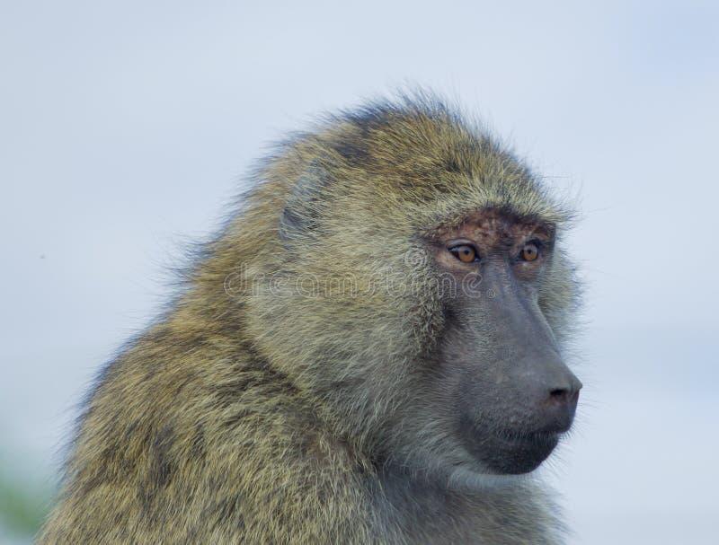 Έκπληκτο baboon στοκ εικόνες με δικαίωμα ελεύθερης χρήσης