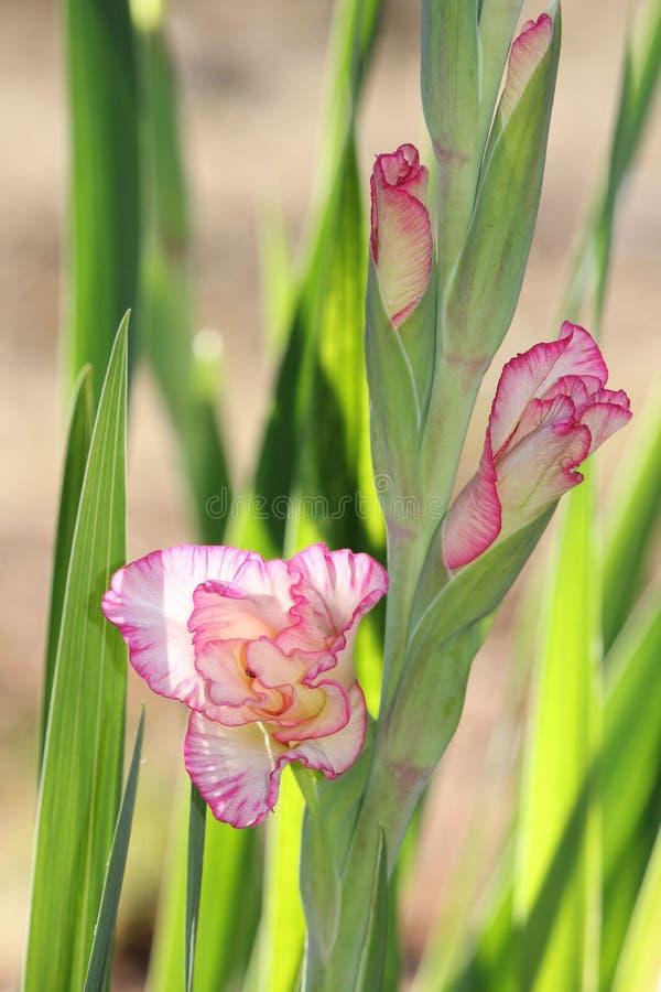 Έκρηξη λουλουδιών Gladiolus ανοικτή στοκ φωτογραφία με δικαίωμα ελεύθερης χρήσης