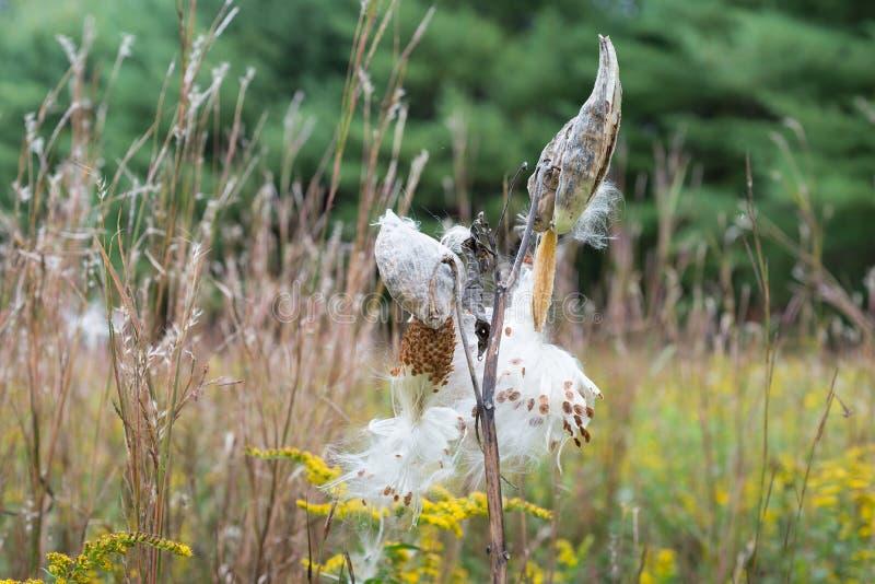 Έκρηξη λοβών Milkweed για να απελευθερώσει τους σπόρους τους στοκ εικόνες