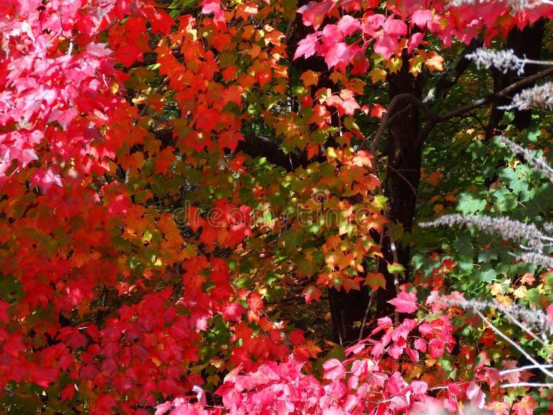 Έκρηξη φθινοπώρου - κόκκινα φύλλα σφενδάμου στοκ φωτογραφία με δικαίωμα ελεύθερης χρήσης