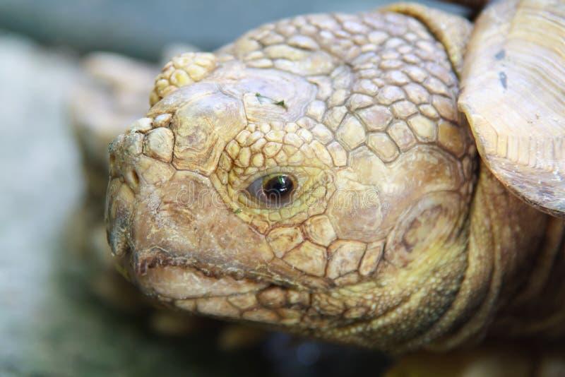Έκφραση ματιών της χελώνας στοκ φωτογραφία με δικαίωμα ελεύθερης χρήσης