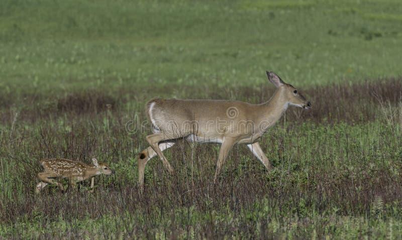 Έλαφος Whitetail και fawn περπάτημα από κοινού στοκ φωτογραφίες με δικαίωμα ελεύθερης χρήσης