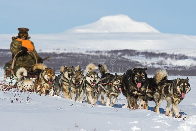 Έλκηθρο σκυλιών Από την Αλάσκα Malamute είναι αρκετά ένα μεγάλο αυτοώμον σκυλί τύπων, με σκοπό να εργαστούν σε μια ομάδα, μια από στοκ εικόνες