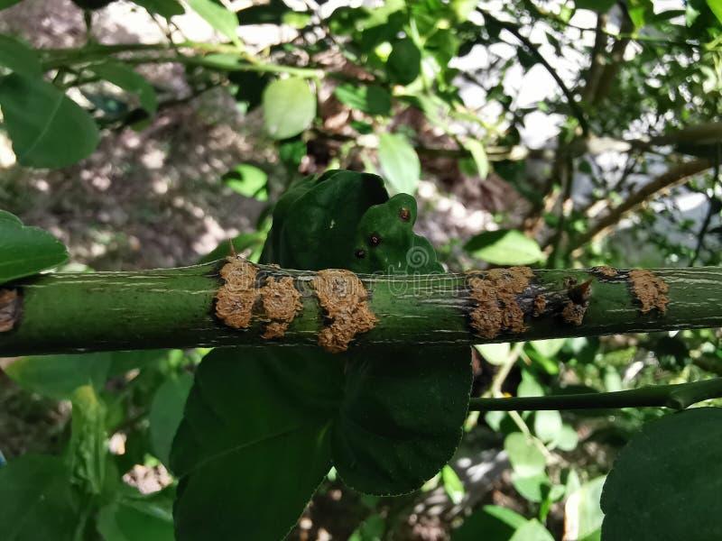 Έλκος εσπεριδοειδών στις αιτίες εσπεριδοειδών από τα βακτηρίδια στοκ φωτογραφία με δικαίωμα ελεύθερης χρήσης