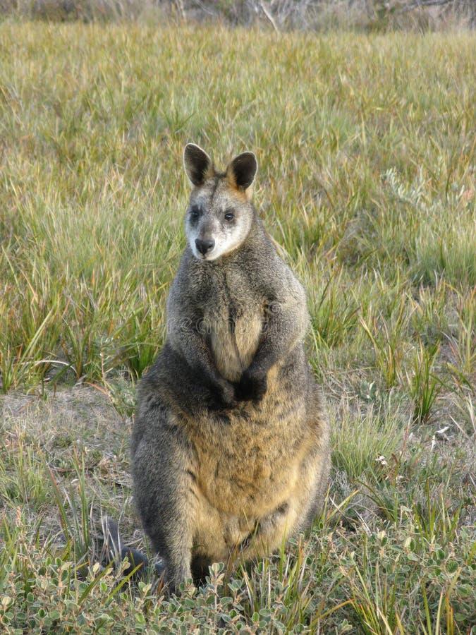 έλος wallaby στοκ φωτογραφία με δικαίωμα ελεύθερης χρήσης