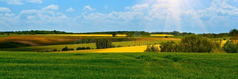 Έμβλημα 3:1 Πράσινος σίτος και κίτρινοι τομείς συναπόσπορων στην άνθιση o r : στοκ φωτογραφία με δικαίωμα ελεύθερης χρήσης