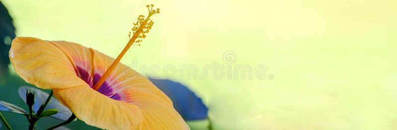έμβλημα backgroung, κίτρινα hibiscus με το θολωμένο κίτρινο υπόβαθρο στοκ εικόνα