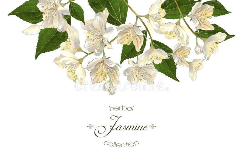 Έμβλημα λουλουδιών της Jasmine ελεύθερη απεικόνιση δικαιώματος