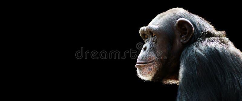 Έμβλημα χιμπατζήδων στοκ φωτογραφία με δικαίωμα ελεύθερης χρήσης
