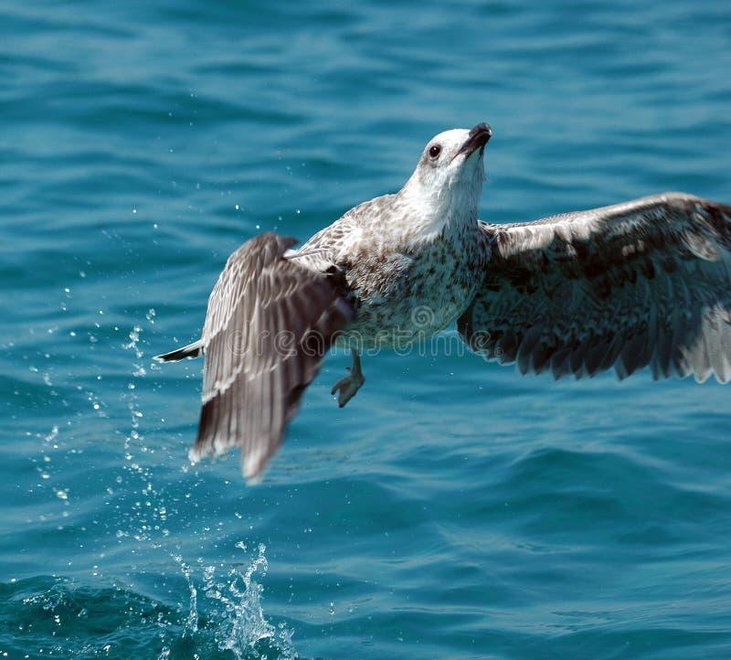 έναρξη θάλασσας πουλιών στοκ εικόνες
